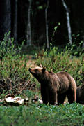 animals, bear, bear carrion, bear cubs, brown bear, cadavers, carrion, mammals, predators, she-bear, Sonfjället, ursine