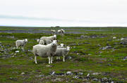 animals, grazing, mammals, Northern Norway, pasturage, pets, sheep, Varanger peninsula