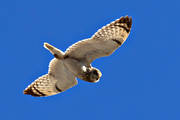 animals, bird, birds, owl, owls, short-eared owl