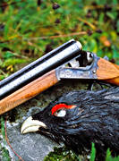 bird hunting, capercaillie, capercaillie cock, cock, gun, hunting, hunting weapon, pointing dog, shot, skogsfågeljakt, weapon
