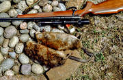 bisam hunt, gnawer, hunting, muskrat, spring hunt