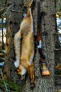 combined weapon, fox hunting, gun, hunting, hunting weapon, red fox, shot