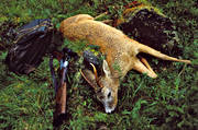 back-pack, day-pack, bag, bock, bock hunting, hunting, prey, roebuck, roedeer hunting, shoot, shot, venison, weapon