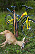 bag, bike, bock hunting, hunting, prey, roedeer hunting, shot, venison
