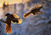 animals, bird, birds, corvids, crow hunting, kråkfågel, nature, siberian jay, siberian jays
