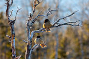 animals, bird, birds, corvids, kråkfågel, little bird, nature, siberian jay, siberian jays, small birds