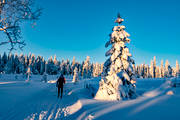 ambience, ambience pictures, atmosphere, heavy snow buildup, Jamtland, outdoor life, pines, season, seasons, ski touring, skier, skies, skiing tracks, snow-weighted, winter, winter forest, woodland, äventyr