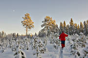 ambience, ambience pictures, atmosphere, backcountry skiers, christmas ambience, forest plantation, forestry, pine, pine forest, plantation, season, seasons, seed pines, self-seeding, ski touring, skies, skiing, spring wood, tree, winter, woodland, äventyr