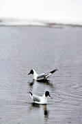 animals, birds, black-headed gull, gulls, sea mew, vatten, water