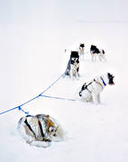 cold, cower, cower(s), dog, dogs, dogsled ride, freeze, freeze(s), greenland dogs, sash-line, sled dog, sled dogs, sledge dog, sledge dogs, snow, snow storm, snow-covered, storm, storm, wild-life, winter, äventyr