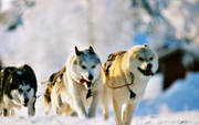animals, dog, dogs, dogsled, greenland dogs, greenlanders, mammals, sled dog, sled dogs