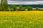 dandelion meadow, dandelions, flowers, Jamtland, landscapes, meadowland, nature, season, seasons, sommaräng, summer, yellow, yellow