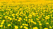 ambience, ambience pictures, atmosphere, dandelion meadow, dandelions, flowers, Jamtland, meadowland, nature, season, seasons, sommaräng, summer, yellow, yellow