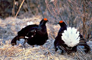 animals, birds, black grouse, black grouses, blackcocks, cocks, dancing black grouses, forest bird, forest poultry