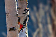 animals, bird, birds, större hackspett, woodpecker, woodpeckers