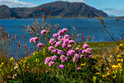Armeria maritima, beach, biotope, biotopes, flourishing, flower, flowers, landscapes, Lunde, meadowland, nature, Norway, plant, plants, herbs, sea, sea, sea-shore, strandtrift, summer, thrift, äng