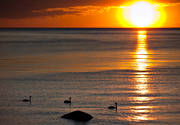 ambience, animals, bird, birds, knölsvanar, mute swan, sunset, swan, swans