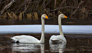 animals, bird, birds, swan, swans, whooper swan, whooper swans