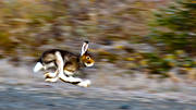 animals, hardrev, hare, hare hunting, hopping, lolloping, hunting, mammals, mountain hare, runs, skubbar, vägskubbare