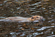 animals, beaver, gnawer, mammals, swimming, vatten
