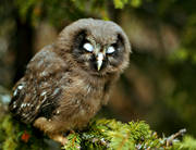 animals, birds, owl, owls, sleepy, tengmalm