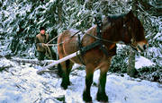 forest worker, forestry, horse, logging, timber transportation, transportation, woodcutter, woodland, work