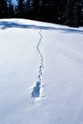 animals, birds, mountain forest, ptarmigan, snow, tracks, white grouse traces, willow grouse