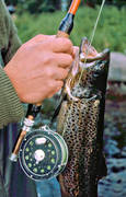angling, fishing, fly, fly rod, flyfishing, trout