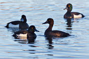 andfågel, animals, bird, birds, blackjacks, blackjack birds, duck, ducks, pochard, pochards, spring, swimming, Vigg