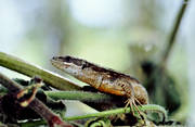 animals, close-up, lizard, reptiles, viviparous lizard