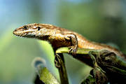 animals, close-up, lizard, reptile, reptiles, viviparous lizard