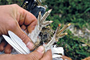 age, animals, birds, claws, nails, decide, ptarmigan, white grouse claws, willow grouse