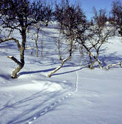 animals, birds, ptarmigan, snow, tracks, white grouse traces, willow grouse, winter