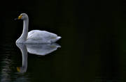 animals, birds, dark, swan, swans, vatten, water, water, whooper swan