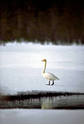 animals, birds, swan, swans, whooper swan
