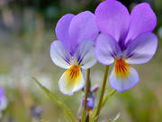 biotope, biotopes, flowers, flowers, meadowland, meadows, nature, summer, wild pansy, äng