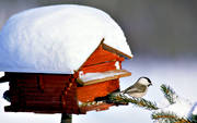 ambience, ambience pictures, animals, atmosphere, bird, bird-table, birds, christmas, christmas ambience, christmas card, christmas pictures image, little bird, passeriform, passeriformes, small birds, såglar, willow tit