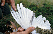 age, animals, bird, birds, decide, ptarmigan, willow grouse, wing, wing of white grouse, young bird