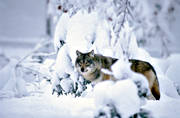 animals, canidae, mammals, predators, snow, ulv, winter, wolf, wolf, wolves, woodland