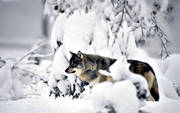 animals, mammals, snow, ulv, winter, wolf, wolf, wolves