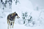 animals, mammals, snow, ulv, winter, winter landscape, wolf, wolf, wolves