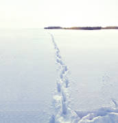 animals, ice, lake, mammals, snow, tracks, trapper, ulv, winter, wolf, wolf, wolf tracks, wolves