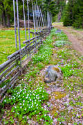 Dalarna, fence, fence, meadowland, nature, summer farm pasture, wood anemone, wood anemones