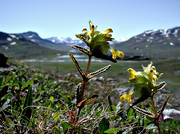 alpine flowers, biotope, biotopes, flowers, meadowland, mountain, mountain nature, mountains, nature, Padjelanta, plants, herbs, rhinanthus minor, yellow, yellow-rattle