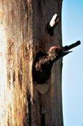 animals, birds, black woodpecker, woodpecker, woodpeckers