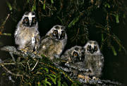 animals, birds, long-eared owl, owl, owls