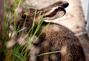 animals, gnawer, hare, hare, mammals, mountain hare, rodents
